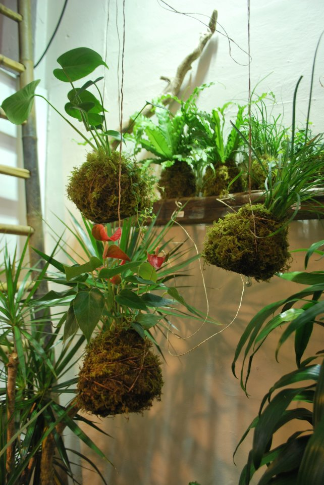 Air Plants Tillandsia besides Monster Plant Night Blooming Cereus By Dawn Marie Hamilton also Howtoflowerorchid likewise Fishbone Cactus besides Xihuitl  pleto. on orchid cactus care