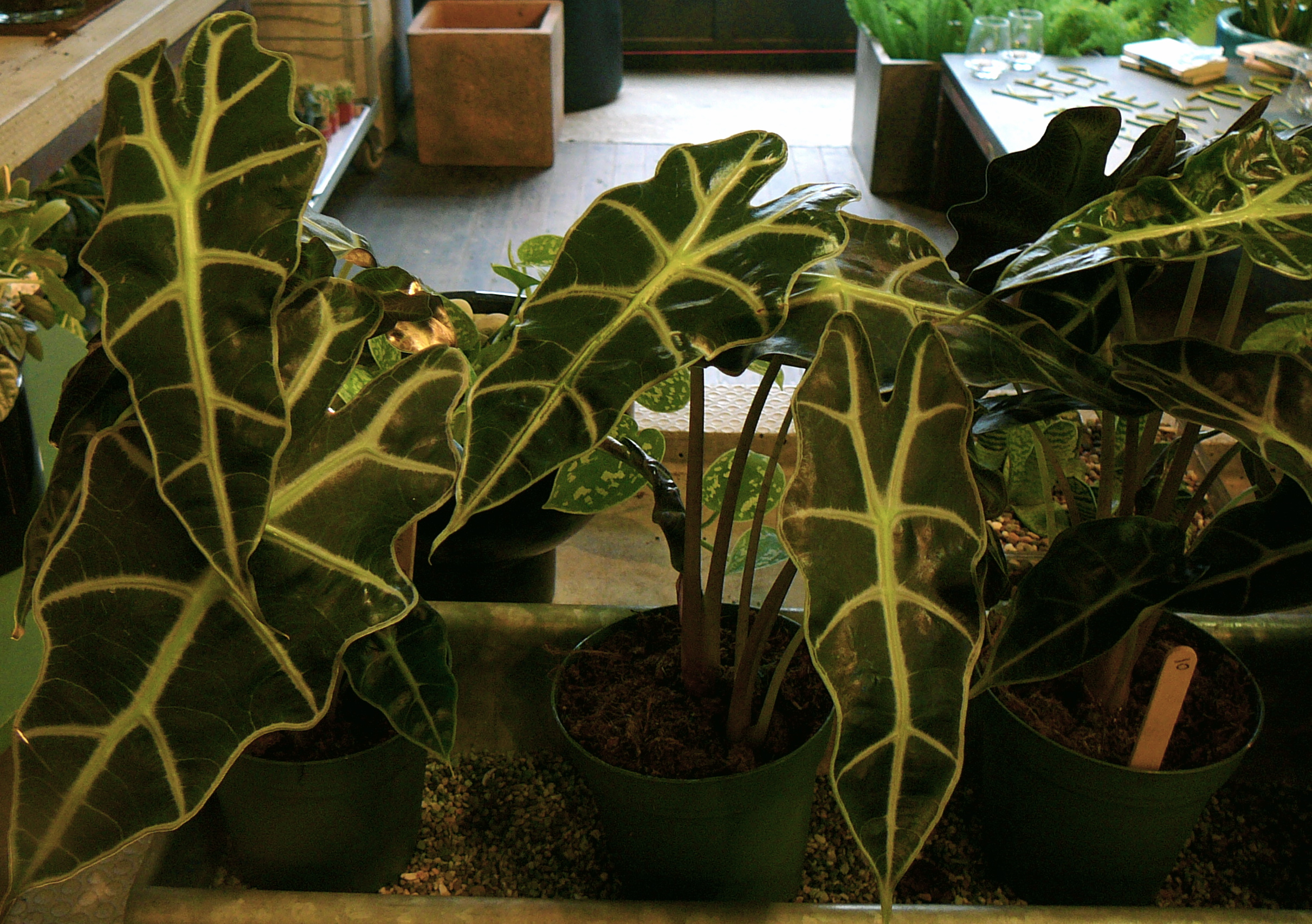 Unusual house plants at the palm room the palm room 7 uncommon indoor plants