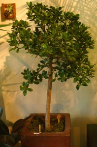 How To String Lights On A Ficus Tree : Ficus Trees The Palm Room
