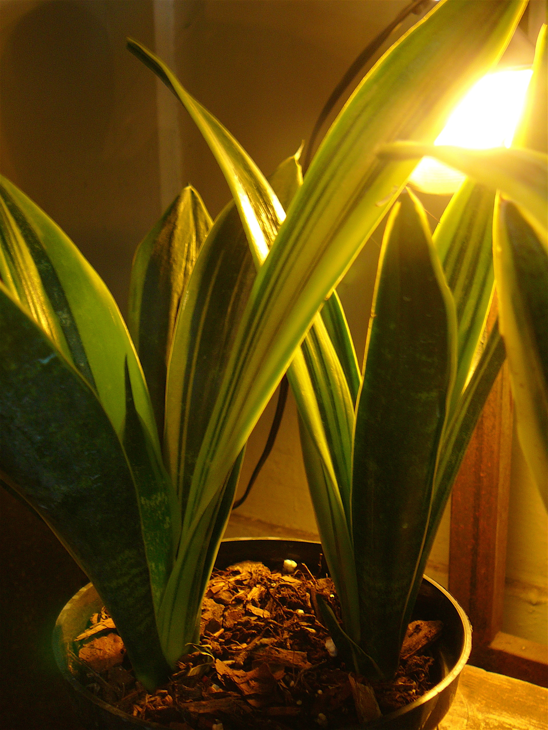 Snake Plant The Palm Room