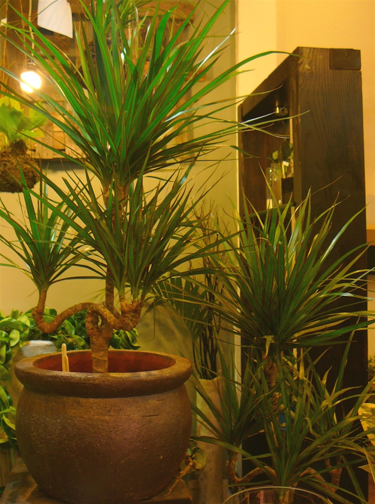 Dracaena Candleabra | The Palm Room