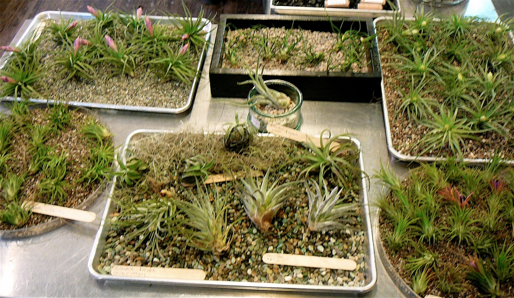 Air Plants Tillandsia The Palm Room