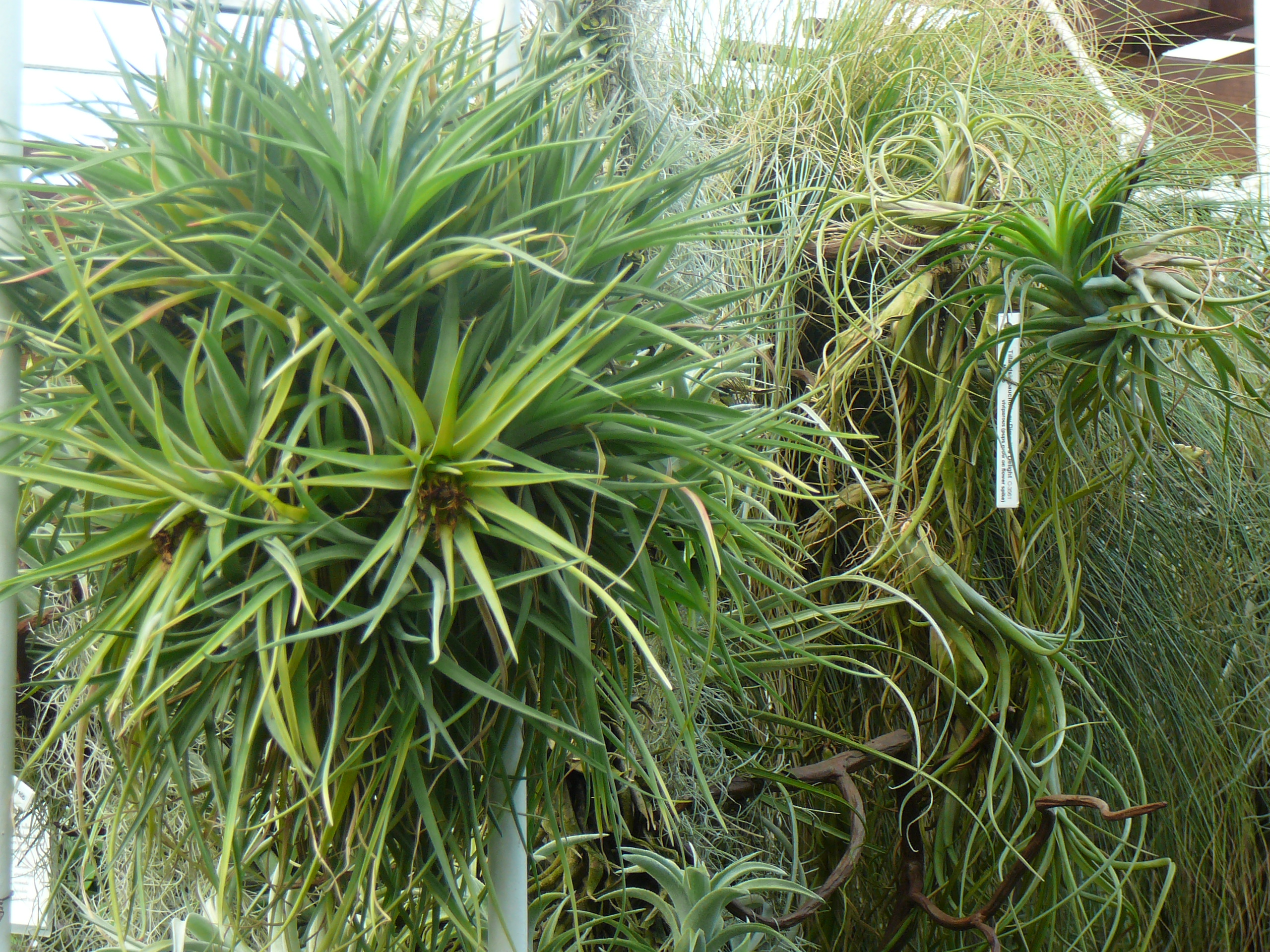 Air plants tillandsia the palm room for Air plant planters