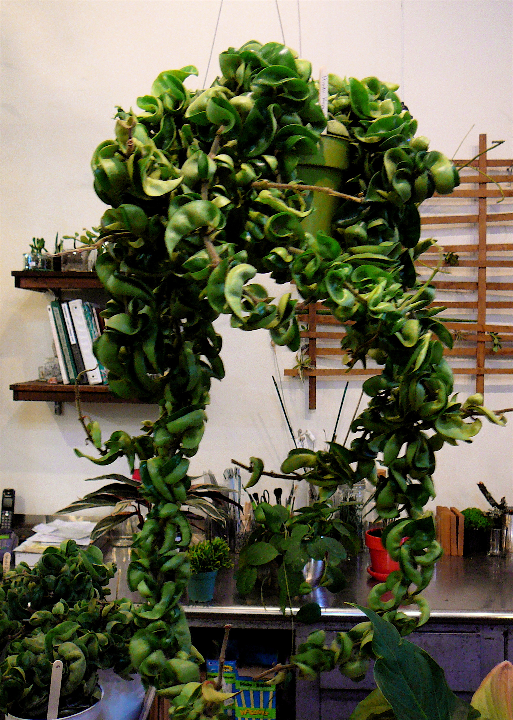 Hindu Rope Hoya Hoya Compacta The Palm Room