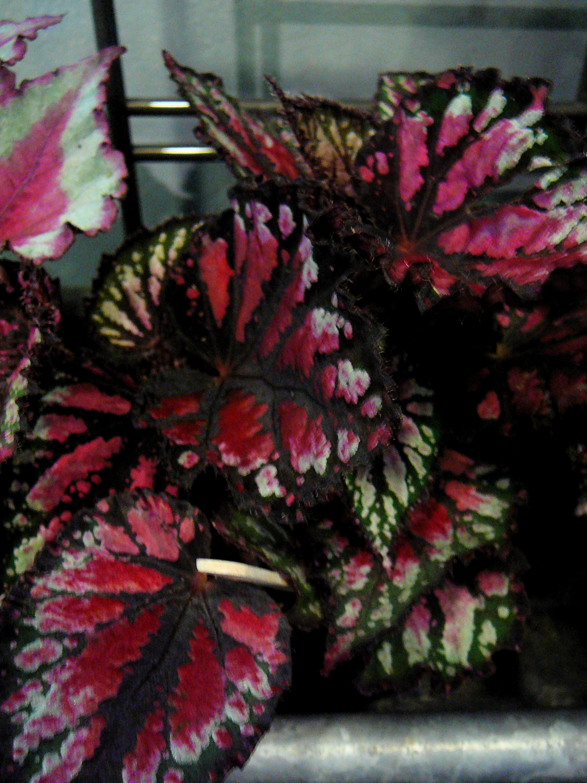 Rex Begonia Facts When The Rex Begonia Flowers