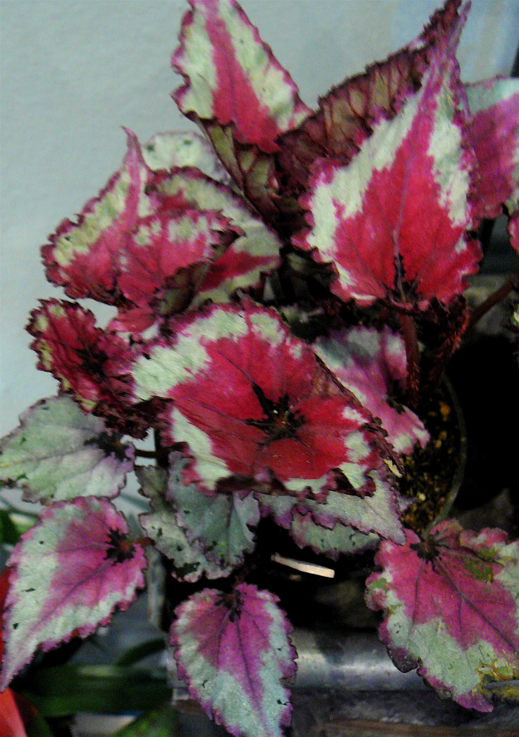 Rex Begonia The Palm Room