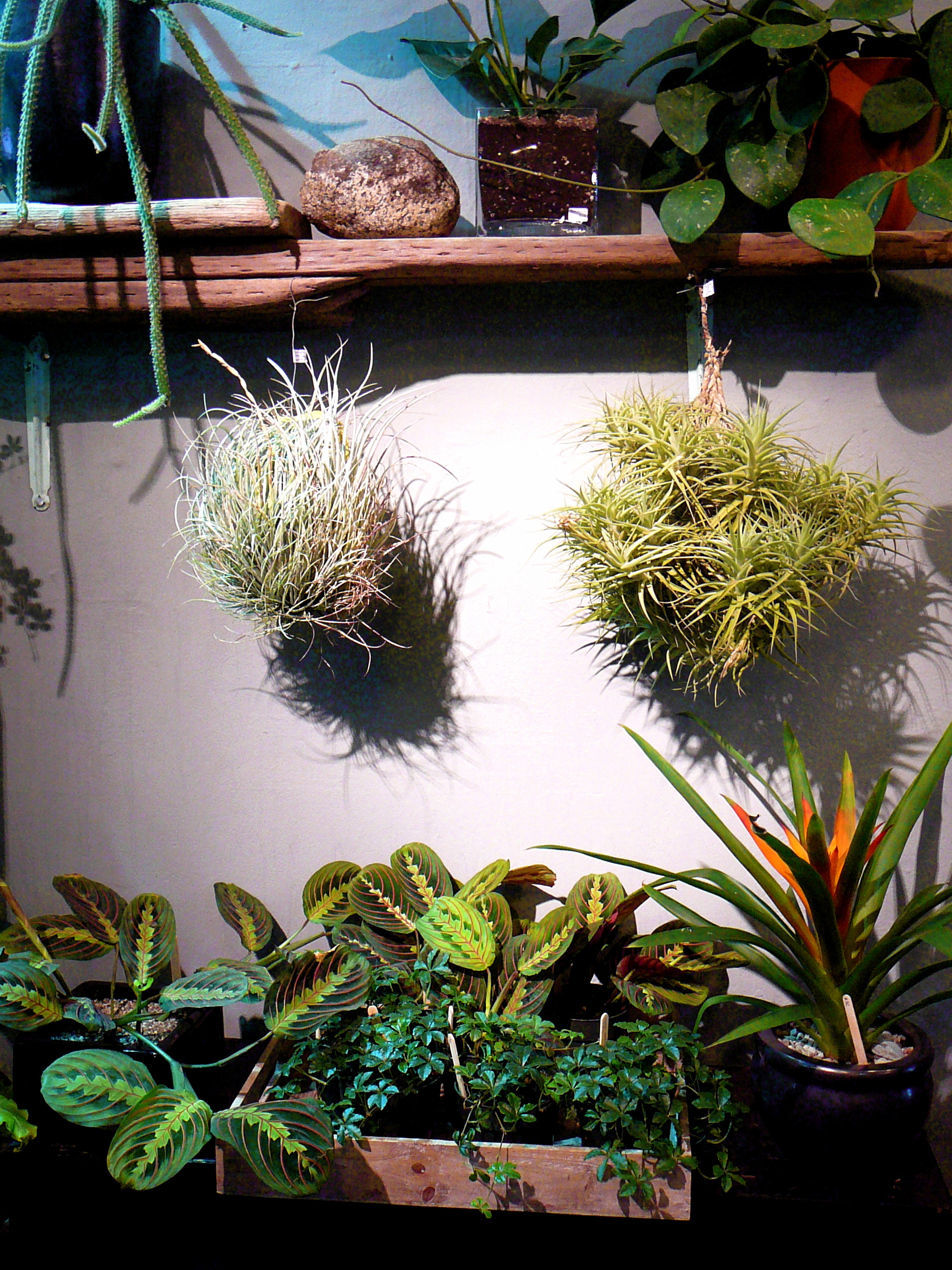 Tillandsia Clusters At The Palm Room The Palm Room