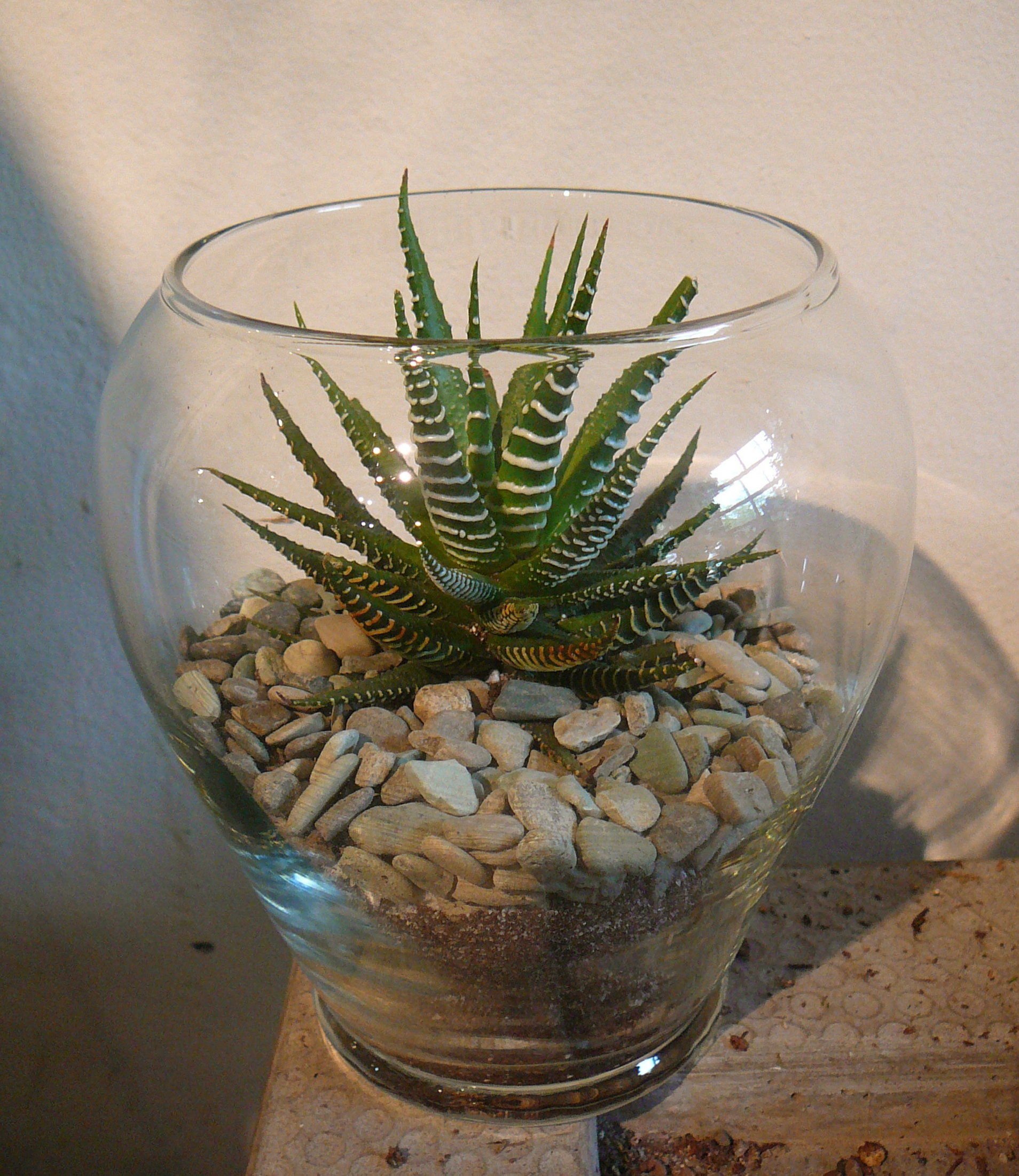 Haworthia Attenuata Zebra Plant The Palm Room