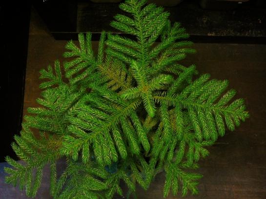 Norfolk Pine Araucaria Heterophylla The Palm Room