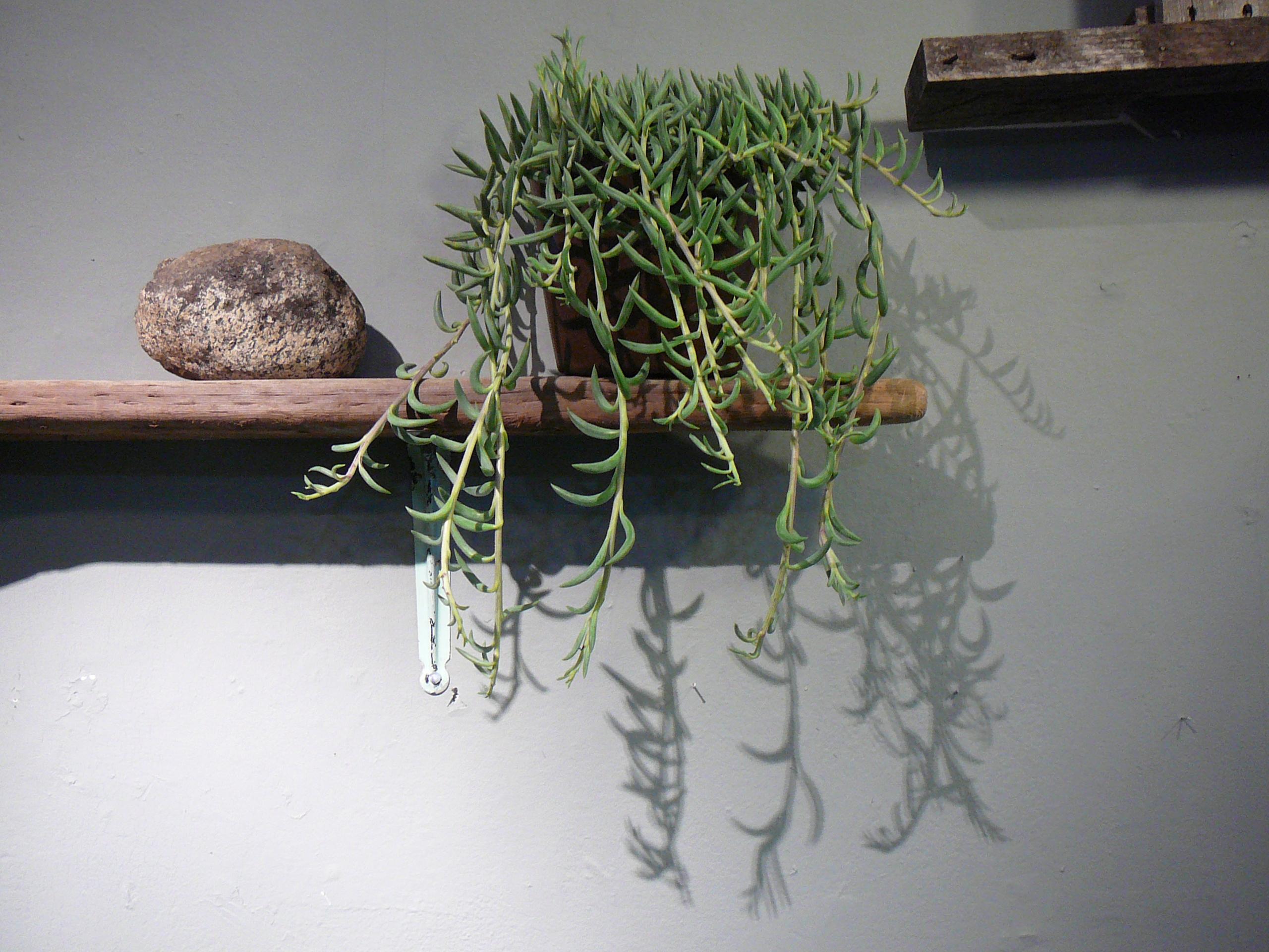 String of bananas plant care - Senecio Radicans