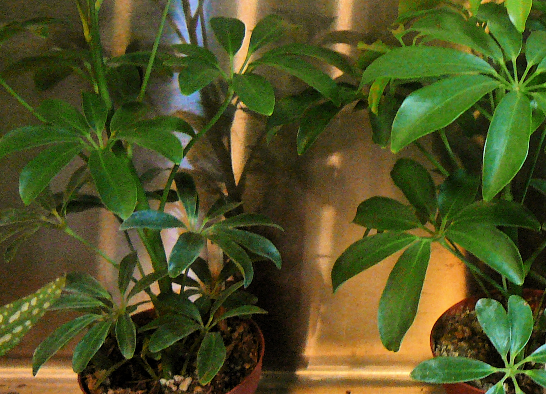 Schefflera Arboricola The Palm Room