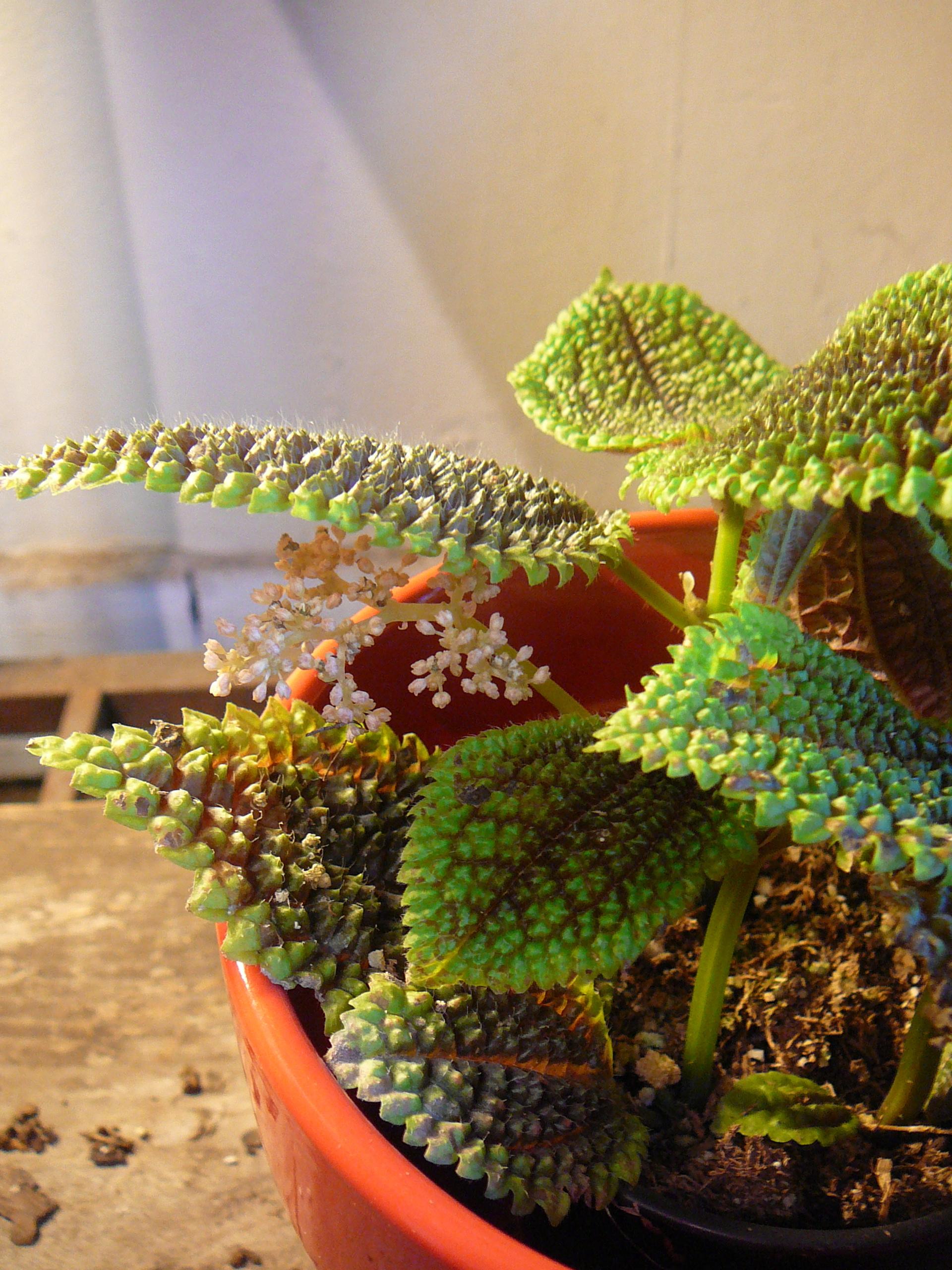 Garden Bush: Pilea – 'moon Valley' & 'aluminum Plant'