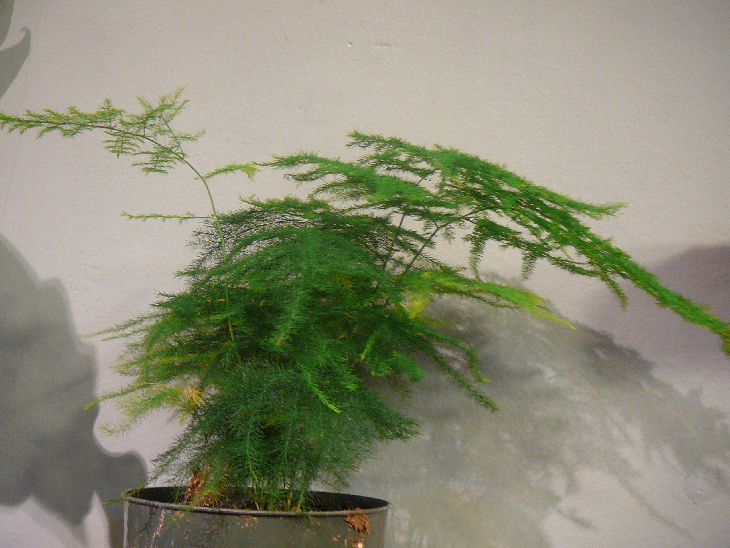 Asparagus Fern Plumosa Foxtail The Palm Room