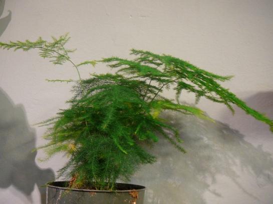 asparagus fern plumosa foxtail the palm room. Black Bedroom Furniture Sets. Home Design Ideas