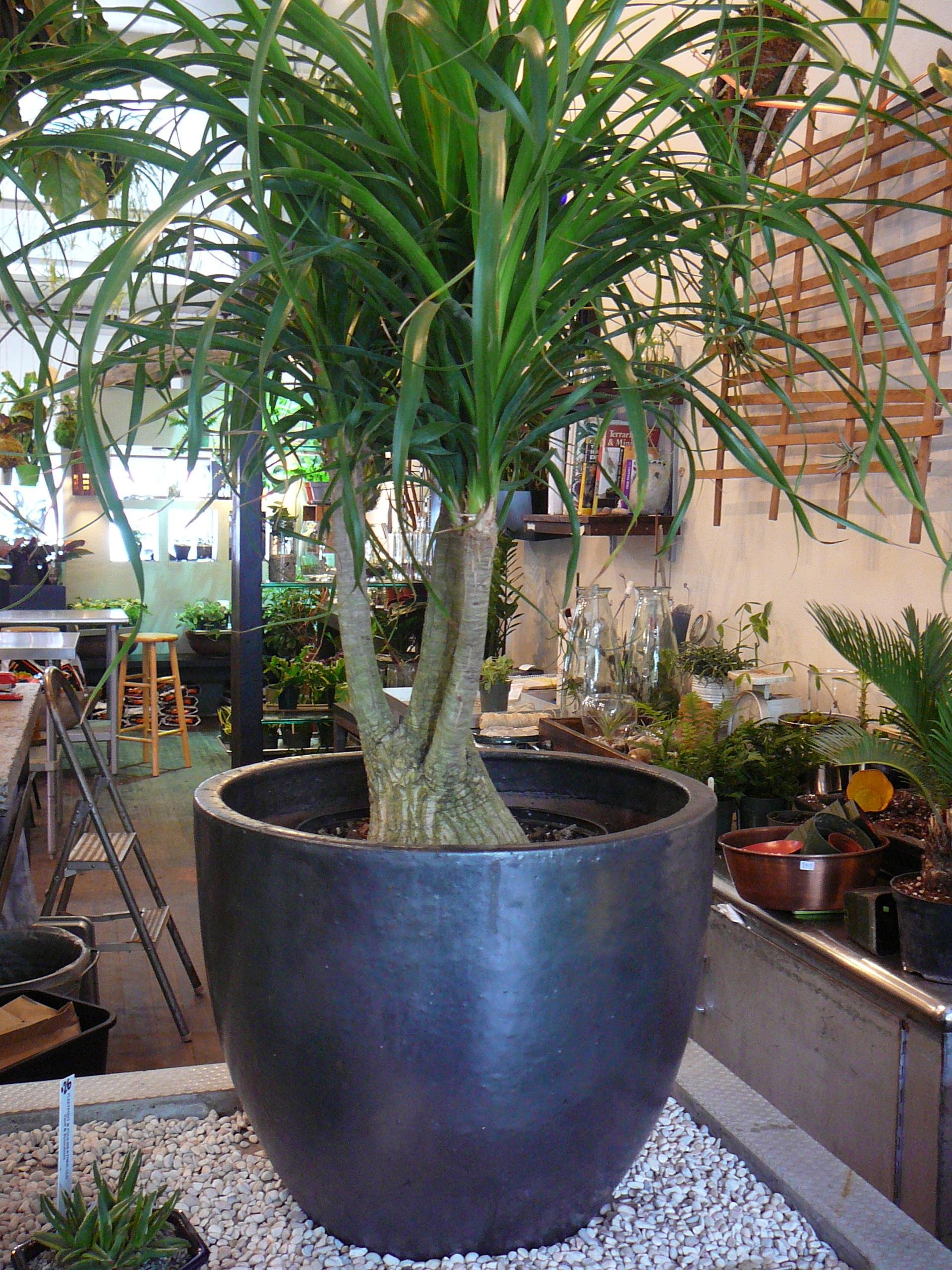 Senecio Rowleyanus Hngepflanzen Frs Zimmer 22 Hngende