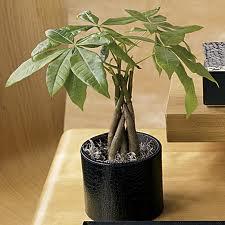 Pachira Money Tree The Palm Room