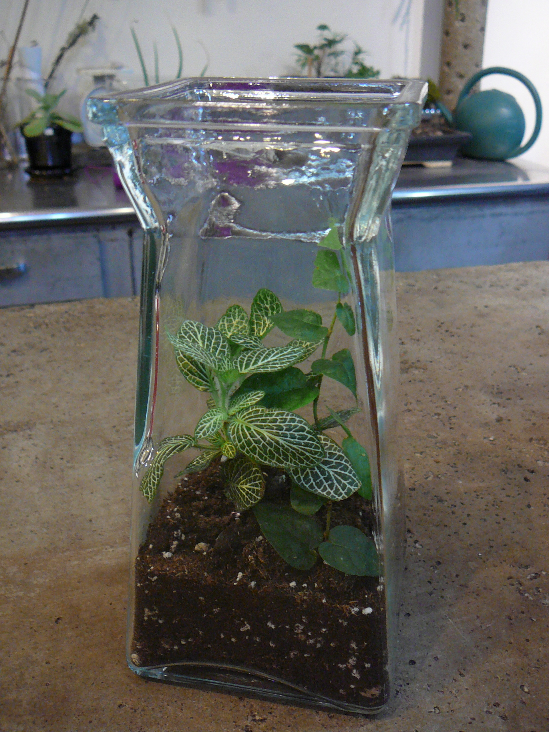 Fittonia Nerve Plant The Palm Room