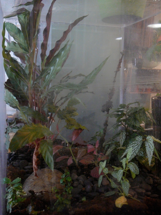Calathea Rufibarba The Palm Room