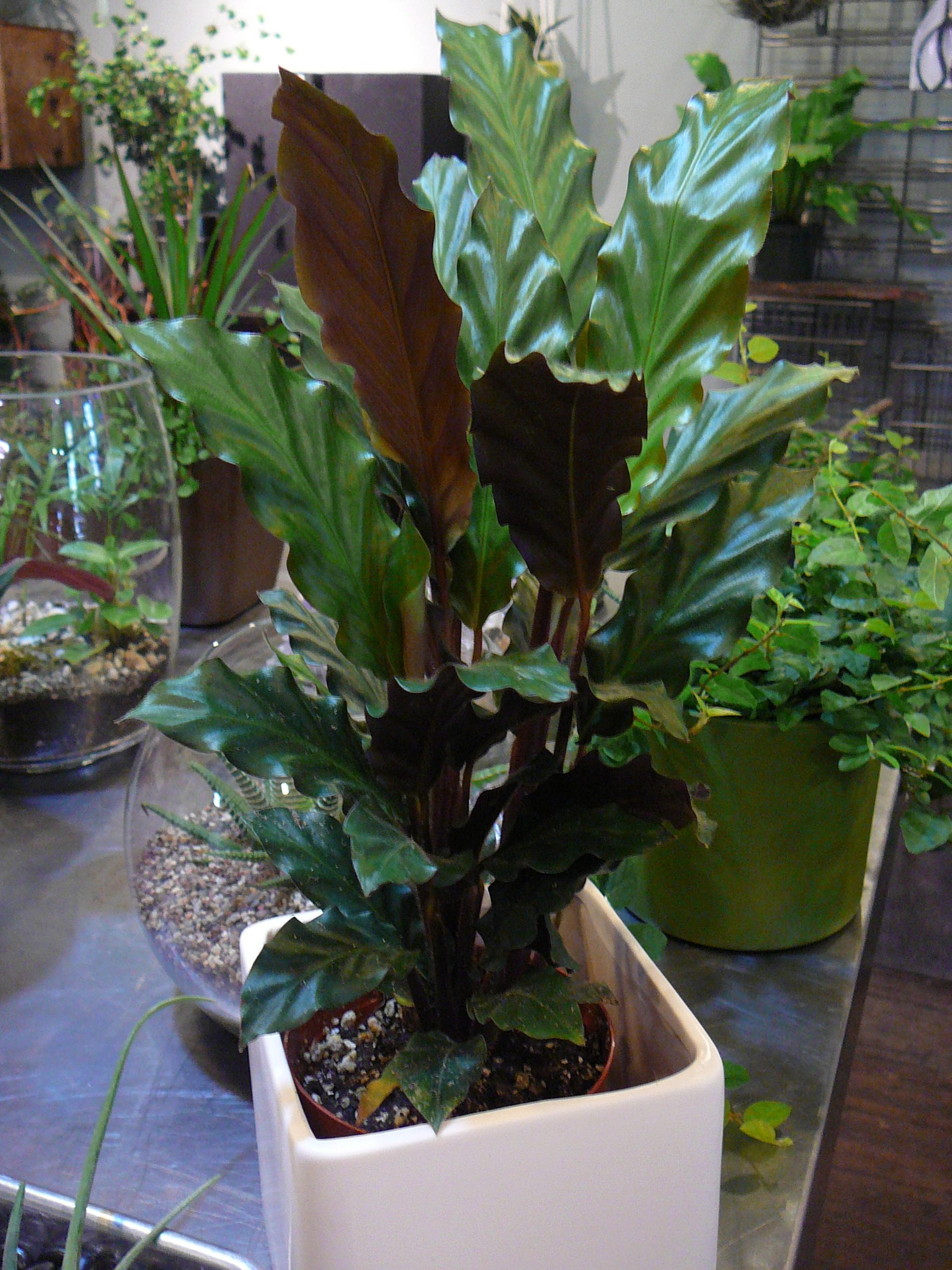 Calathea rufibarba | The Palm Room