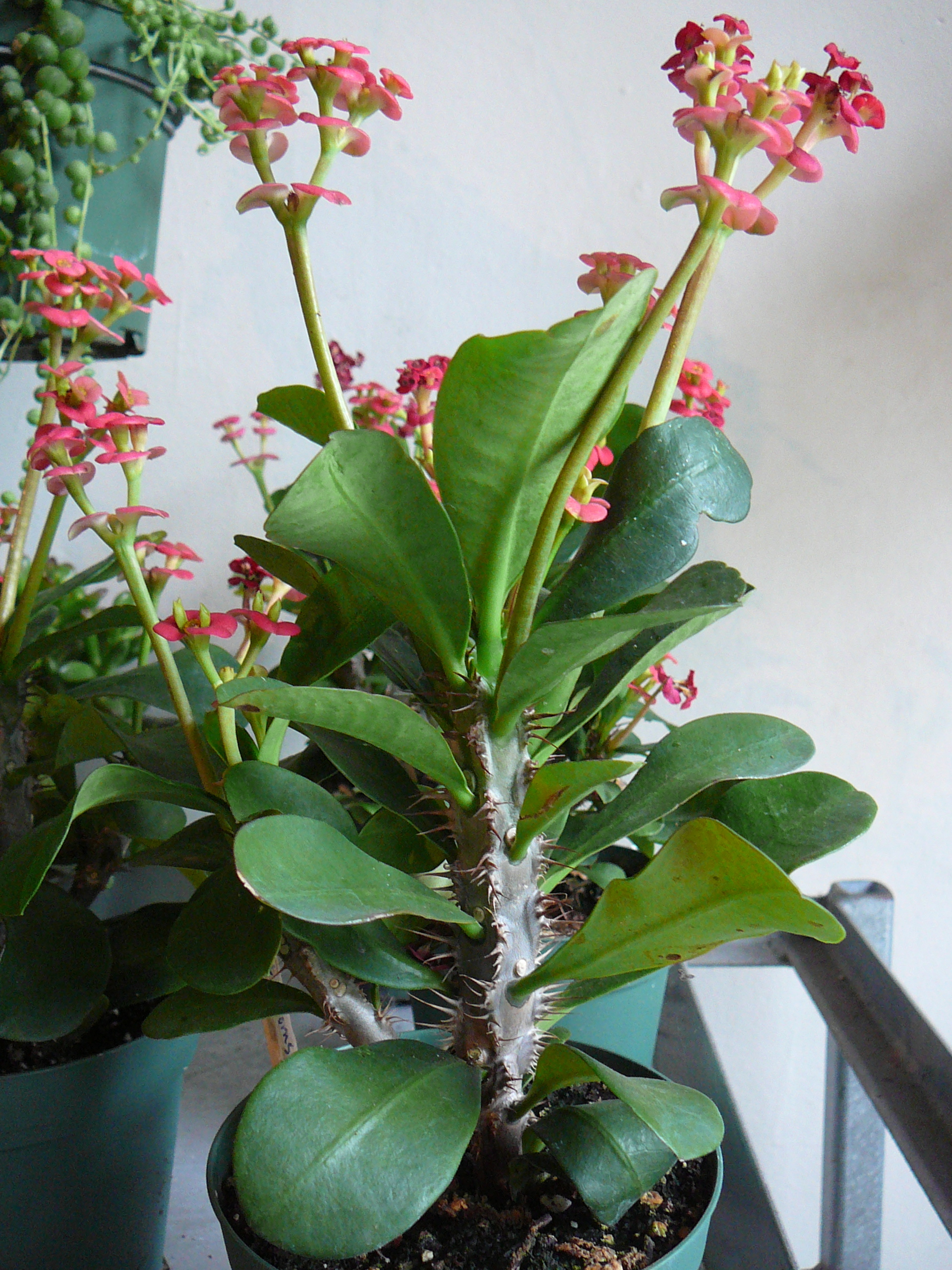 crown of thorns euphorbia milii the palm room