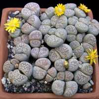 Living Stones - Lithops